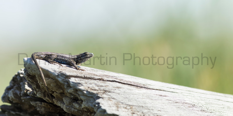 Prairie Lizard (stitched from 3 images)<br /> Logan County, Kansas