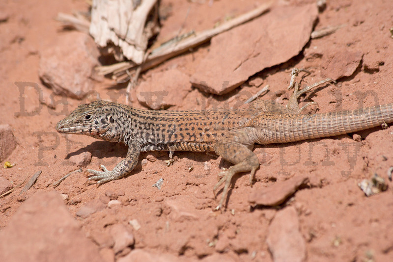 Tiger Whiptail (with injury to head)<br /> Canyonlands National Park, Utah