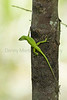 Green Anole<br /> Tangipahoa Parish, Louisiana