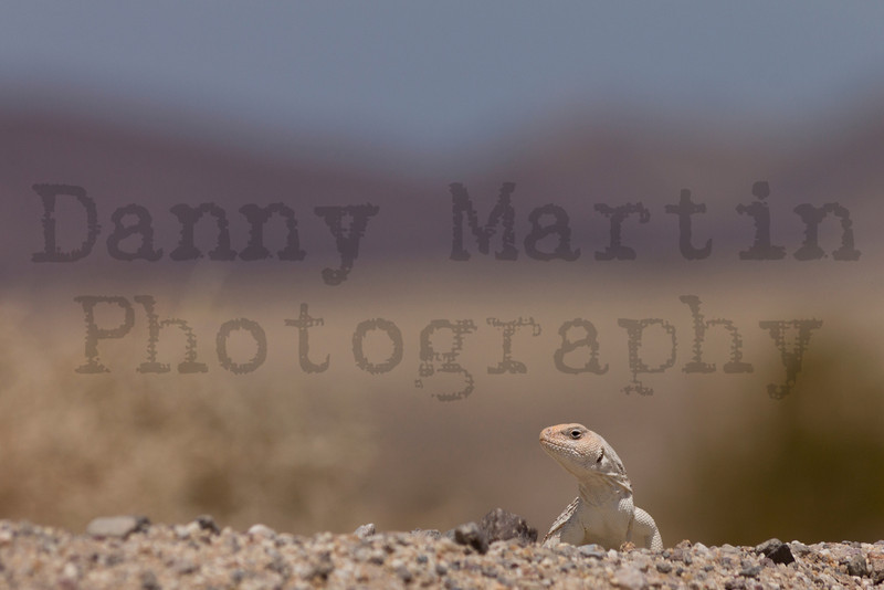 Desert Iguana<br /> Imperial County, California