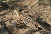 Lesser Earless Lizard (gravid female)<br /> Pawnee National Grassland, Weld County, Colorado.