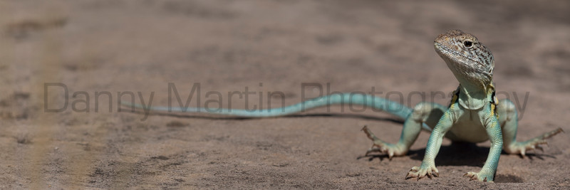 Eastern Collared Lizard (stitched images)<br /> Randall County, Texas