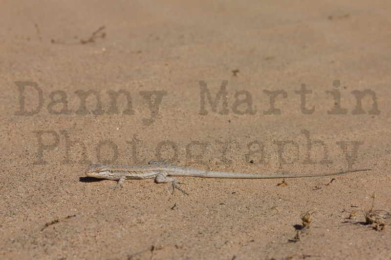 Long-tailed Brush Lizard (adult male)<br /> Imperial County, California