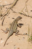 Lesser Earless Lizard<br /> Yoakum County, Texas