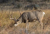 Mule Deer buck foraging<br /> Larimer County, Colorado