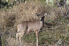Coues' White-tailed Deer (buck)<br /> Pima County, Arizona