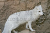 Arctic Fox *(captive)