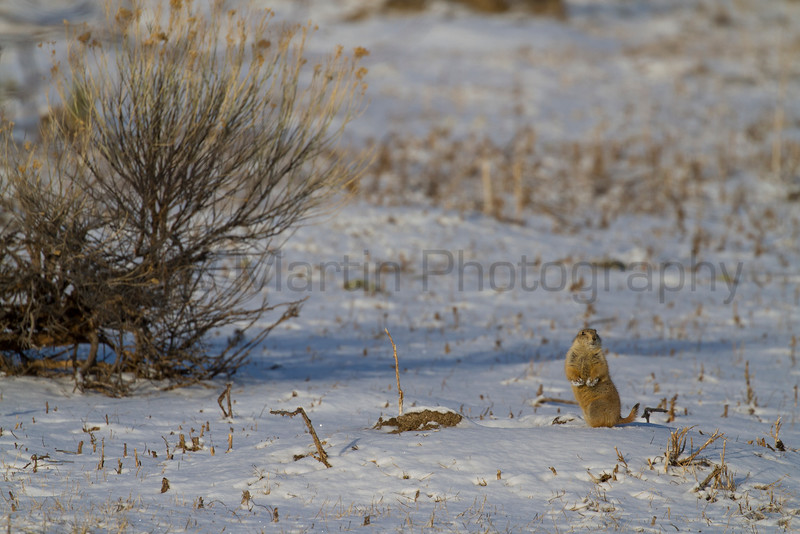 Black-tailed Prairie Dog<br /> Pineridge Natural Area, Fort Collins, Colorado