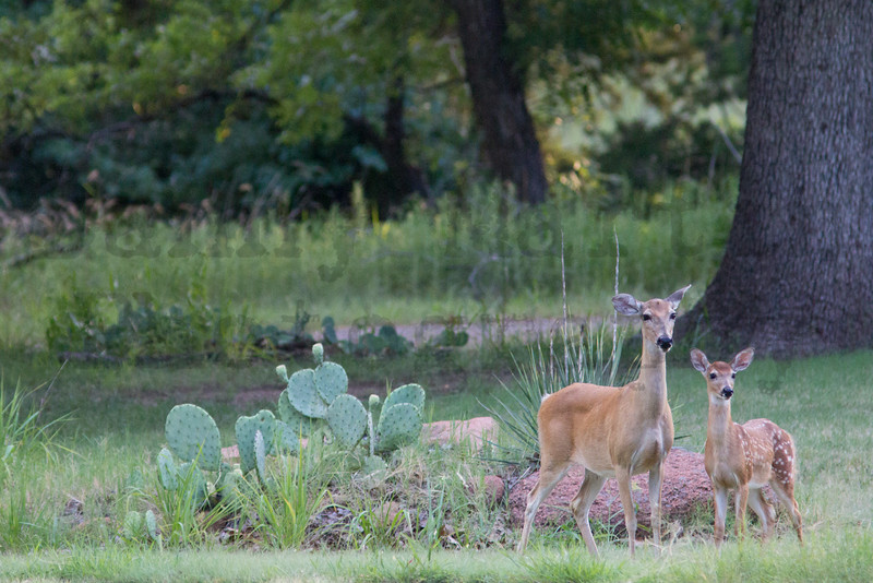 White-tailed Deer doe & fawn<br /> Comanche County, Oklahoma