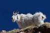Mountain Goat<br /> Mount Evans, Colorado.