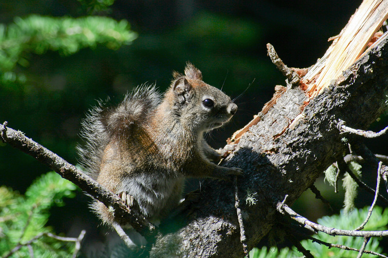 Red Squirrel (Chickaree)<br /> Rocky Mountain National Park, Colorado