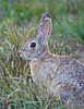 Eastern Cottontail<br /> Colorado