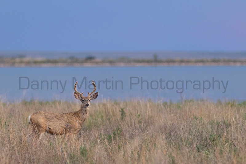 Mule Deer<br /> Colfax County, New Mexico