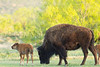 Bison cow & calf<br /> Caprock Canyon State Park, Texas