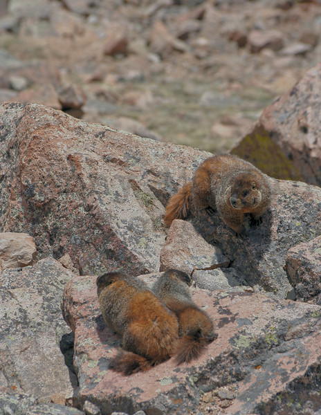 yellow-bellied marmots.  Rocky Mountain National Park, CO.