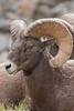 Rocky Mountain Bighorn ram<br /> Larimer County, Colorado