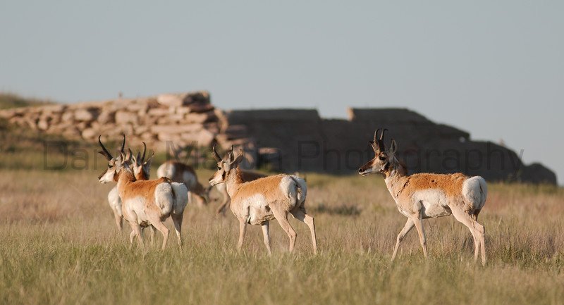 Pronghorn<br /> Northeastern Colorado