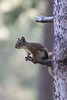 American Red Squirrel (Pine Squirrel, or Chickaree)<br /> Wyoming