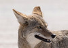 Coyote<br /> Pima County, Arizona
