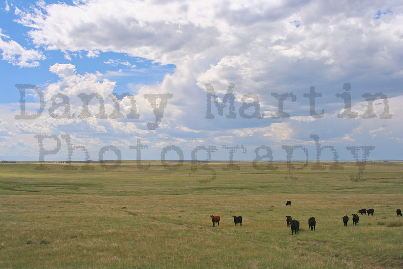Black and Red Angus cattle<br /> Pawnee National Grassland, Colorado.