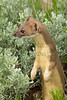 Long-tailed Weasel<br /> Jackson County, Colorado.