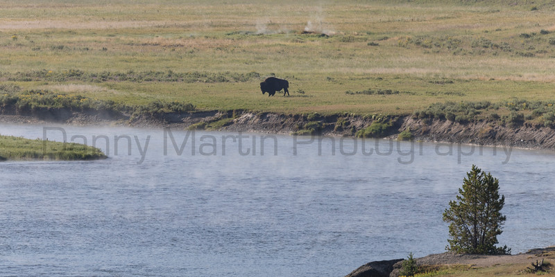 American Bison bull drying off in the morning sun after crossing the river.<br /> Park County, Wyoming