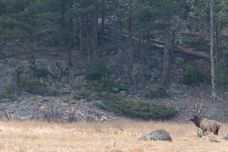 Rocky Mountain Elk during the rut<br /> Larimer County, Colorado