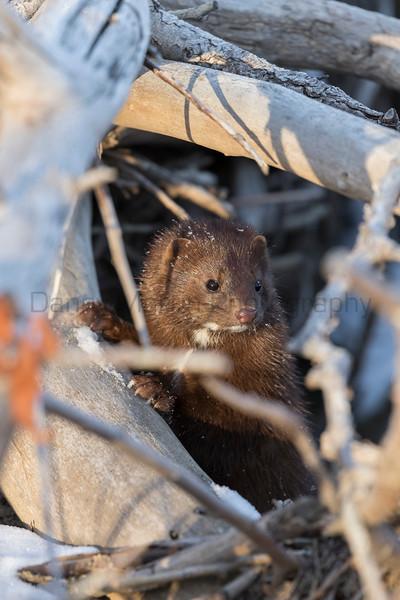 American Mink<br /> Larimer County, Colorado