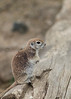 Round-tailed Ground Squirrel<br /> Pima County, Arizona
