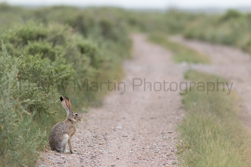 Black-tailed Jackrabbit<br /> Weld County, Colorado
