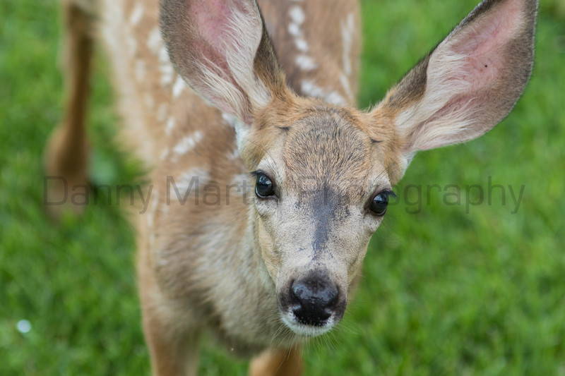 Mule Deer fawn<br /> Fort Collins, Larimer County, Colorado