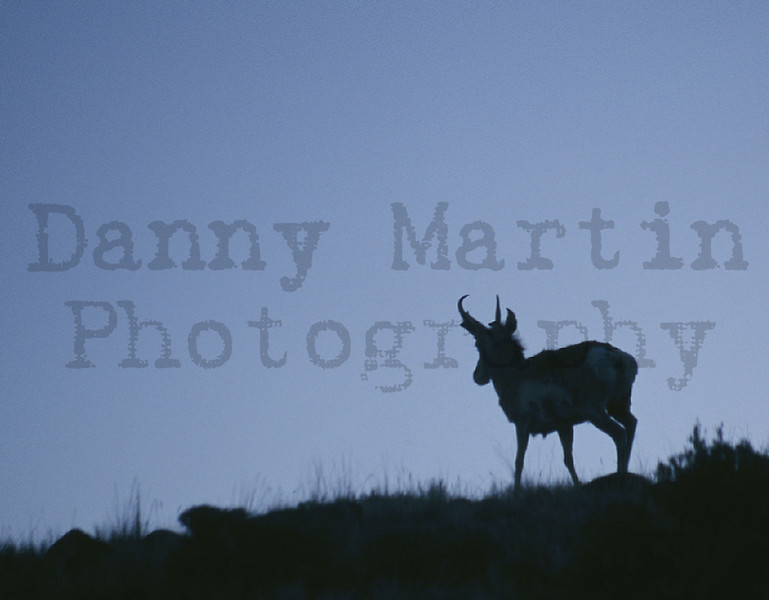 Pronghorn at dawn.  <br /> South Fork of the Shoshone River west of Cody, Wyoming.  <br /> *slide scan