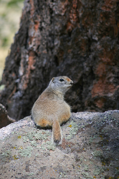 Wyoming ground squirrel.  Rocky Mountain National Park, CO.