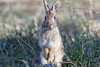 Eastern Cottontail<br /> Larimer County, Colorado