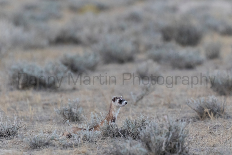 A critically-endangered Black-footed Ferret explores its new home in the wild after release from a captive breeding program.  The reintroduction effort here is thanks to cooperation between the U.S. Fish & Wildlife Service, Colorado Parks & Wildlife, and the Fort Collins Natural Areas Program.<br /> Larimer County, Colorado.