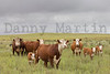 Hereford bull, cows and calves<br /> Hemphill County, Texas.