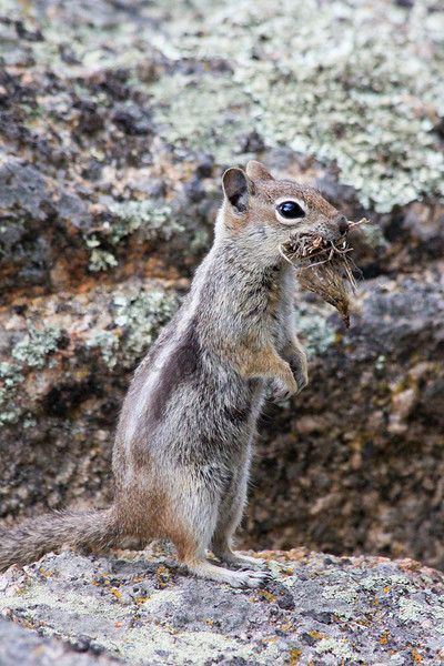 Golden-mantled Ground Squirrel.  Rocky Mountain National Park, Colorado.