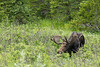 Moose bull<br /> Cameron Pass, Larimer County, Colorado.