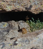 Pika hunter: the Long-tailed Weasel.  Rocky Mountain National Park, CO. [slide scan]