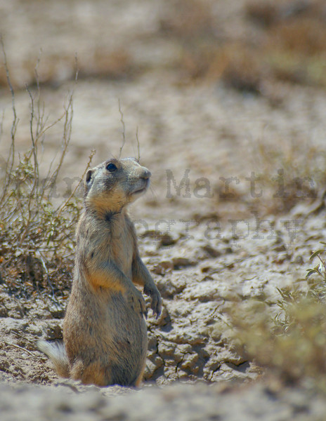 white-tailed prairie dog.  northwestern Colorado.