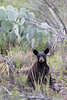 Black Bear (juvenile)<br /> Brewster County, Texas