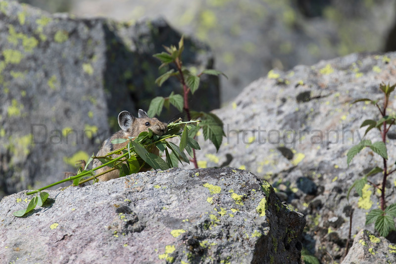 American Pika with harvested plants<br /> Wyoming