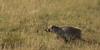 American Badger (subadult) - running through shortgrass prairie<br /> Las Animas County, Colorado