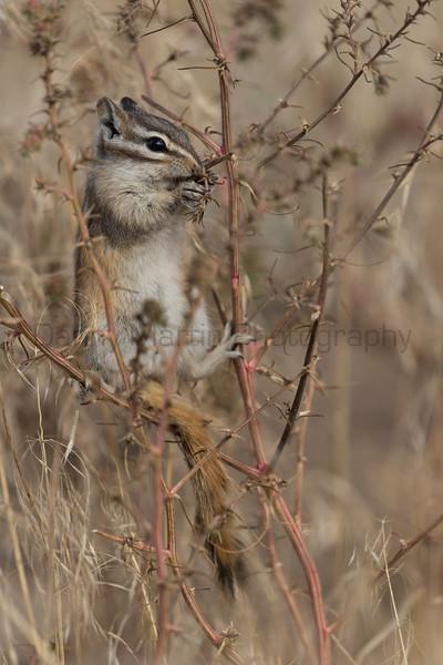 Least Chipmunk foraging<br /> Larimer County, Colorado