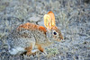 Desert Cottontail<br /> Moffat County, Colorado
