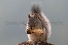 Red Squirrel (Chickaree)<br /> Larimer County, Colorado