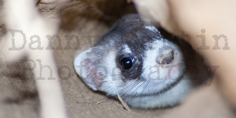 Black-footed ferret at a captive conditioning pen prior to release, Moffat County, Colorado
