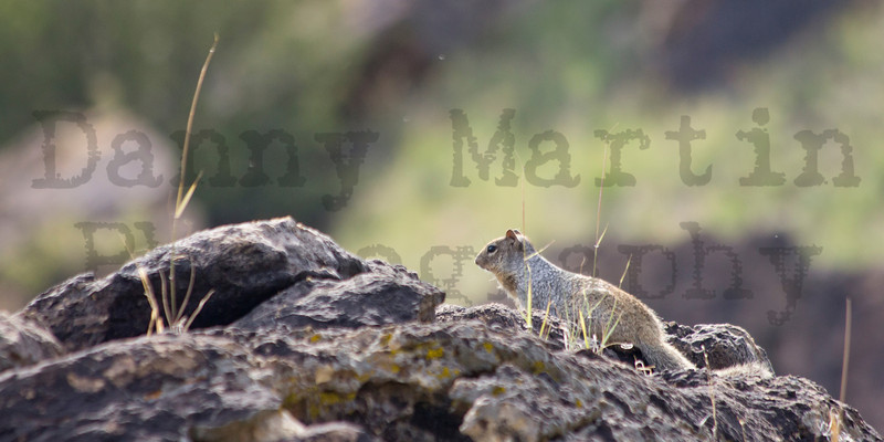Rock Squirrel<br /> Wither's Canyon, Comanche National Grassland, Colorado.