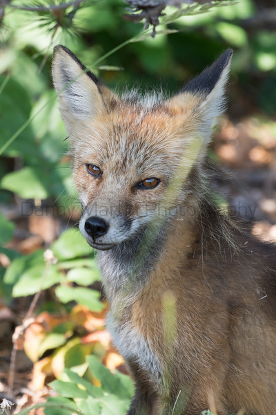 Red Fox<br /> Wyoming