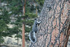 Abert's Squirrel, Estes Park, Colorado.